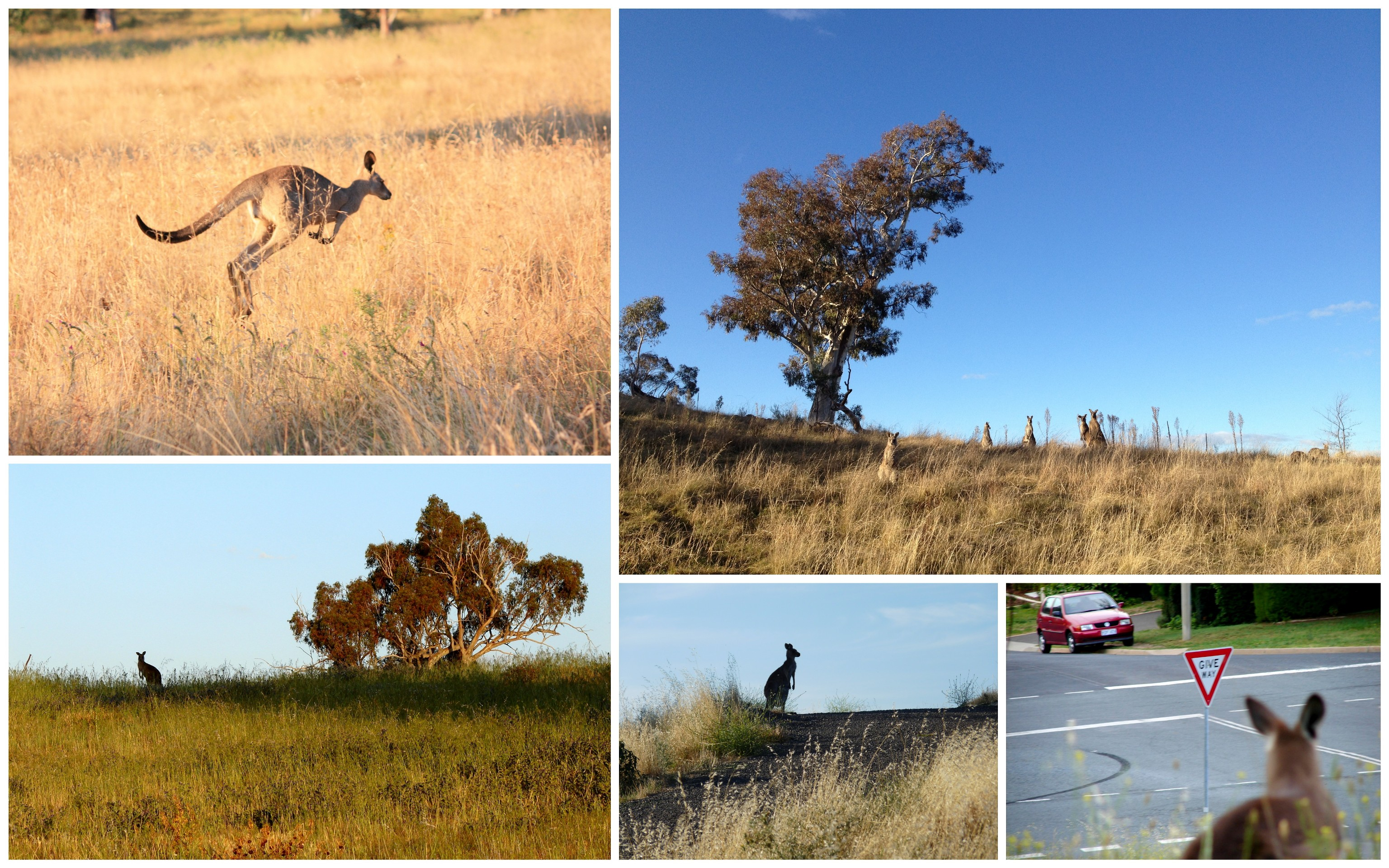 K_kangaroos