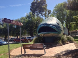 Hooked from the Murray River in Victoria (Swan Hill)