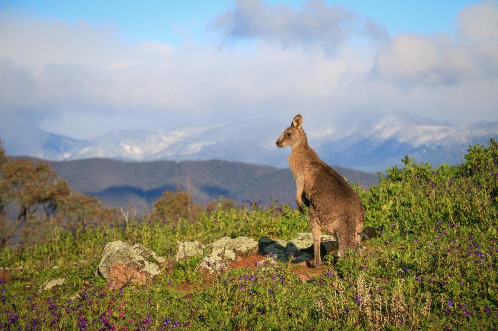 Kangaroo vistas
